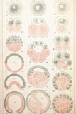 Vertebrate Embryonic Development, Artwork Print by Mehau Kulyk