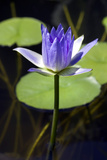Water Lily (Nymphaea Sp.) Photographic Print by Lawrence Lawry