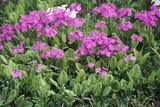 Primrose Flowers (Primula Patens) Photographic Print by Dr. Nick Kurzenko