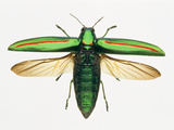 Jewel Beetle Photographic Print by Lawrence Lawry