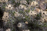 Devil's Club Cactus (Gousonia Invicta) Photo by Bob Gibbons