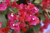 Bougainvillea Flowers Photographic Print by Johnny Greig