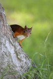 Eurasian Red Squirrel Photographic Print by Bjorn Svensson