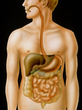 Artwork of the Human Digestive System Photographic Print by David Gifford
