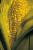 Maize Photographic Print by Kaj Svensson