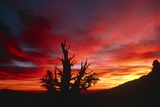 Bristlecone Pine Photographic Print by Keith Kent