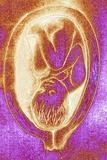 Artwork of Foetus In 33rd Week of Pregnancy Prints by David Gifford