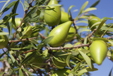 Argan Fruit (Argania Spinosa) Posters by Johnny Greig