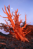Bristlecone Pine Prints by Keith Kent
