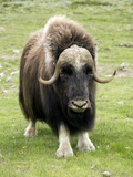 Muskox Photographic Print by Bob Gibbons