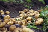 Potato Harvest Photographic Print by Bjorn Svensson