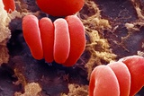 Red Blood Cells, SEM Prints by Ami Images