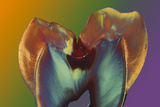 Polarised LM of a Molar Tooth Showing Decay Photographic Print by Volker Steger