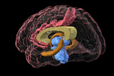 Brain Limbic System, 3-D MRI Scan Photographic Print by Arthur Toga