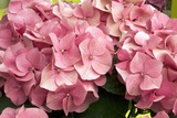 Hydrangea Macrophylla 'Rosita' Photographic Print by Adrian Thomas