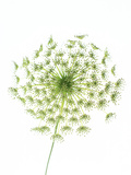 Dill (Anethum Graveolens) Photographic Print by Gavin Kingcome