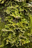 Tree Lungwort (Lobaria Pulmonaria) Photo by Bob Gibbons