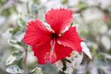 Hibiscus Rosa-sinensis 'Cooperi' Print by Jon Stokes