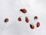 Seven-spot Ladybirds In Snow Photo by Bob Gibbons