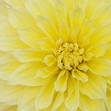 Dahlia Flower Premium Photographic Print by Kaj Svensson