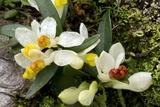Shrubby Milkwort (Polygala Chamaebuxus) Photographic Print by Bob Gibbons