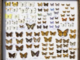 Case of British Butterflies Lepidoptera Prints by Paul Stewart