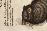 1551 Gesner's Plague Death Black Rat Photographic Print by Paul Stewart