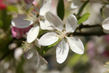 Crabapple Blossom (Malus Sp.) Photographic Print by Johnny Greig