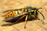A Common Adult Worker Wasp, Vespula Vulgaris Photographic Print by Sinclair Stammers