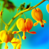 Bleeding Heart (Dicentra Sp.) Photographic Print by Johnny Greig