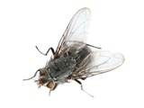 Common House Fly Photographic Print by Lth Nhs Trust