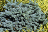 Blue Spruce (Picea Pungens 'Globosa') Photographic Print by Adrian Thomas
