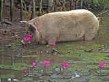 Pig Drinking Print by Bjorn Svensson