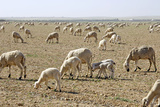 Sheep Herd Photographic Print by Johnny Greig