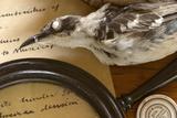 Preserved Galapagos Mockingbird Posters by Paul Stewart