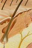 Artwork of a Section Through Healthy Skin Posters by David Gifford