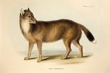 1839 Darwin's Falkland Island Fox Extinct Photographic Print by Paul Stewart