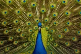 Peacock Pavo Cristatus Displaying Tail Photographic Print by Paul Stewart