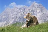 Mucca, in inglese Stampa fotografica di Bjorn Svensson