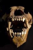 Ural Cave Bear Skull Ursus Uralensis Photographic Print by Paul Stewart