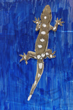 Gecko Locomotion Study Photographic Print by Volker Steger