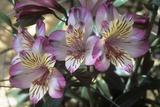Peruvian Lily (Alstroemeria 'Balance') Photographic Print by Adrian Thomas