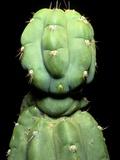 Hallucinogenic San Pedro Cactus, Ecuador Prints by Sinclair Stammers