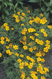 Marigolds (Tagetes 'Tangerine Gem') Photographic Print by Adrian Thomas