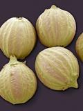 Coriander Fruits, SEM Prints by Steve Gschmeissner