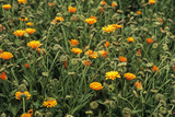 Marigold (Calendula Officinalis) Photographic Print by Adrian Thomas