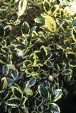 Ilex Aquifolium 'Silver Van Tol' Prints by Adrian Thomas