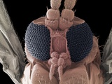 Fungus Gnat Head, SEM Posters by Steve Gschmeissner