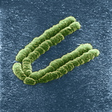 Chromosome, SEM Photographic Print by Adrian Sumner