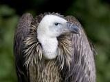 Griffon Vulture (Gyps Fulvus) Poster par Denise Swanson